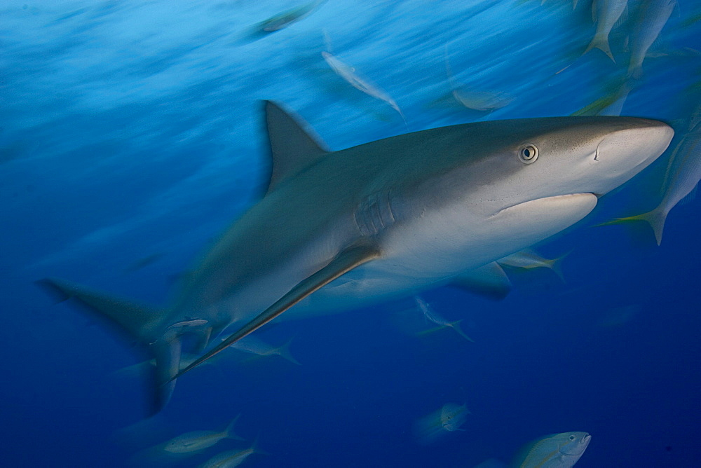 Caribbean, Bahamas, Caribbean Reef Shark (Carcharhinus perezi), with fish.