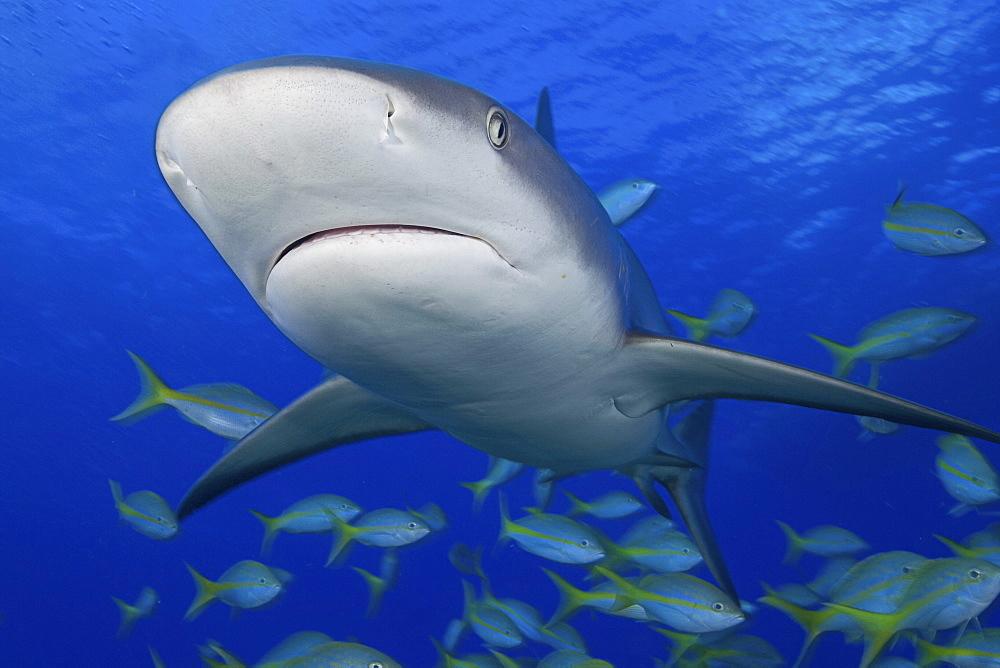 Caribbean, Bahamas, Caribbean Reef Shark (Carcharhinus perezi) with fish.