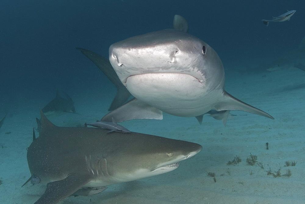 Caribbean, Bahamas, Little Bahama Bank, 14 foot tiger shark [Galeocerdo cuvier], and lemon shark (negaprion brevirostris).