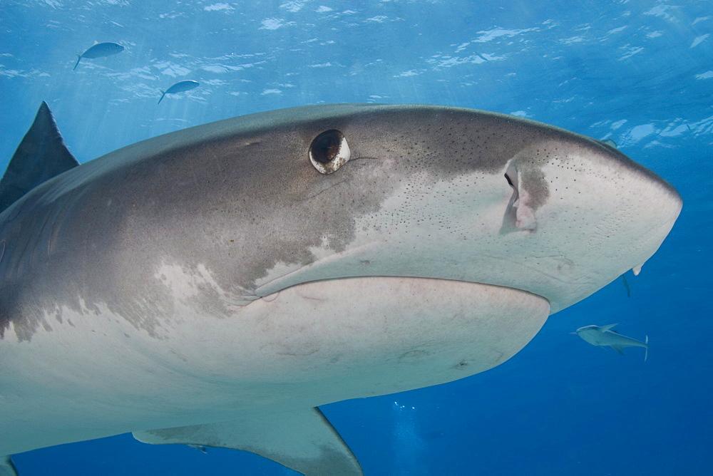 Caribbean, Bahamas, Little Bahama Bank, 14 foot tiger shark [Galeocerdo cuvier].