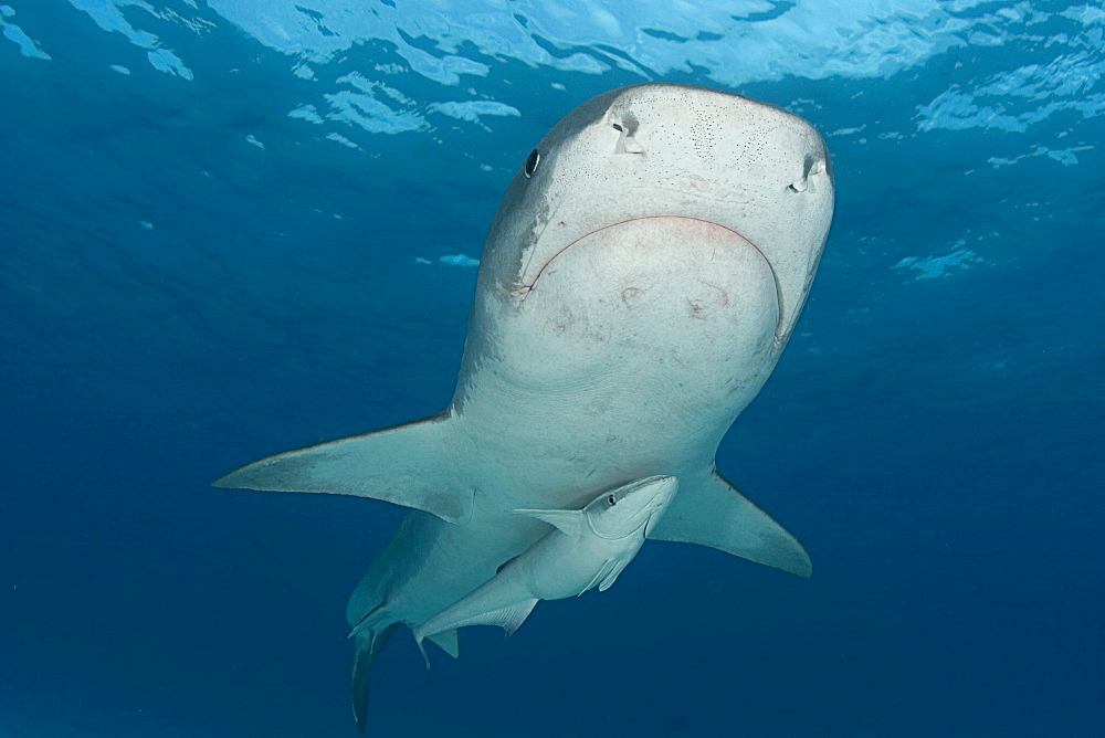 Caribbean, Bahamas, Little Bahama Bank, 14 foot tiger shark [Galeocerdo cuvier], with remora.