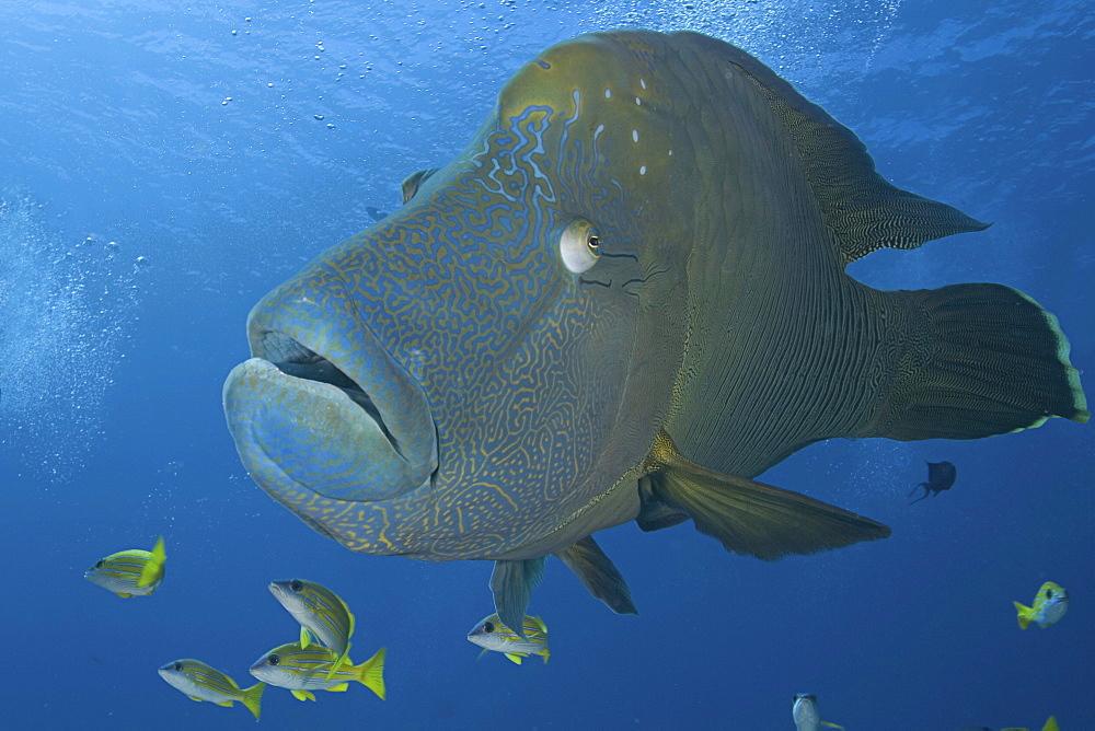 Micronesia, Palau, Close-up of a large Napoleon wrasse (Cheilnus undulatus).