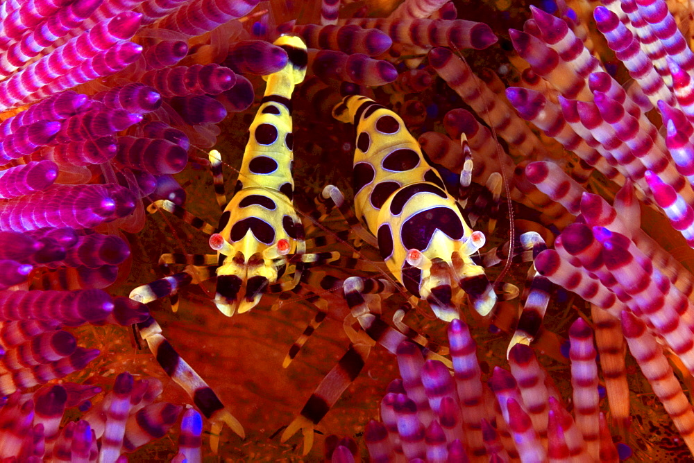 Indonesia, Komodo Island, Two coleman shrimp (periclimenes colemani) on bright pink urchin.