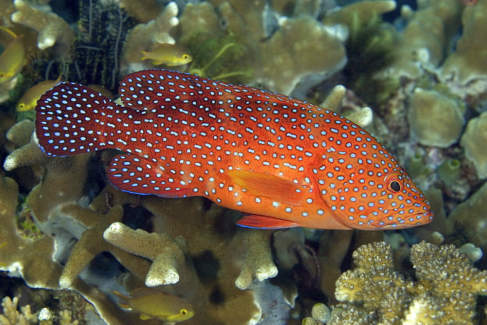 Indonesia, Coral grouper (Cephalopholis miniata) stands out brightly amongst coral reef.