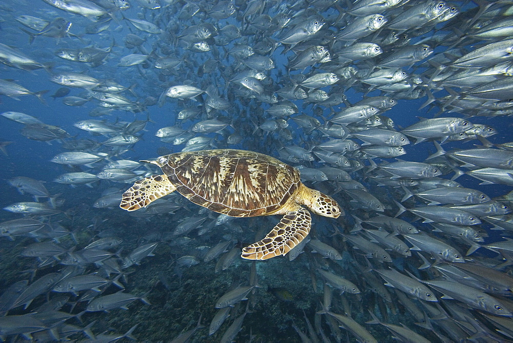 Malaysia, Sipidan, Green Sea Turtle (Chelonia mydas) with schooling fish.