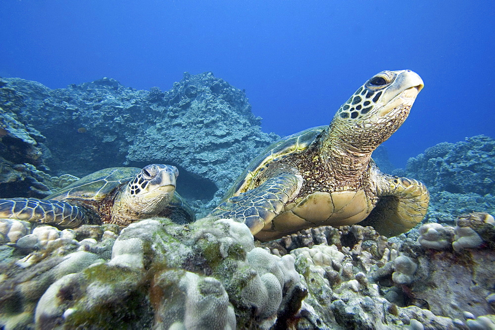 Hawaii, Two Green Sea Turtles (Chelonia mydas) on colorful coral reef.