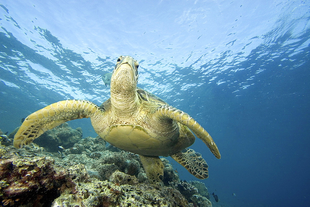 Malaysia, Sipidan Island, Close-up of Green Sea Turtle (Chelonia mydas) on reef.