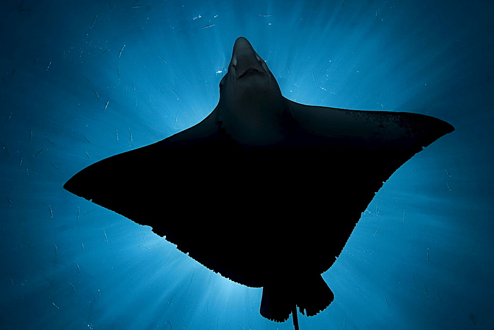 Micronesia, Palau, Spotted eagle ray (Aetobatus narinari), silhouette from below.