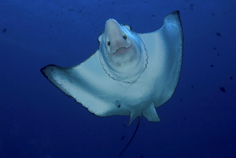 Micronesia, Palau, Spotted eagle ray (Aetobatus narinari), view from below.