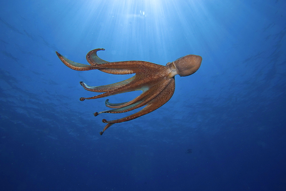 Hawaii, Day octopus (Octopus cyanea) propelling through blue water.