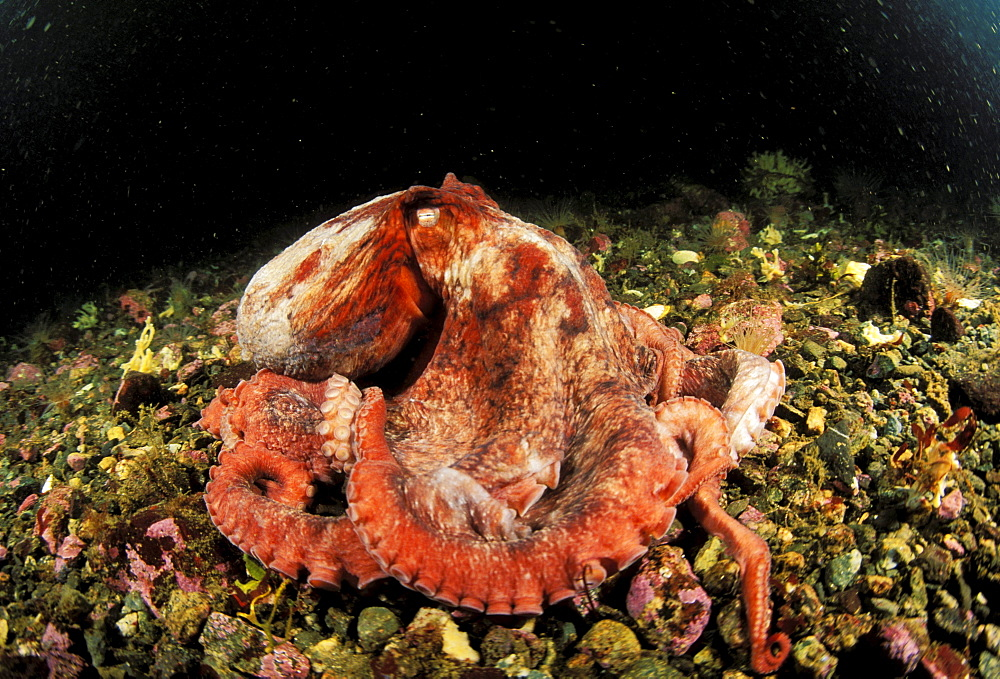 Canada, British Columbia, Giant Pacific octopus (Octopus dolfleini) changing colors on ocean floor.