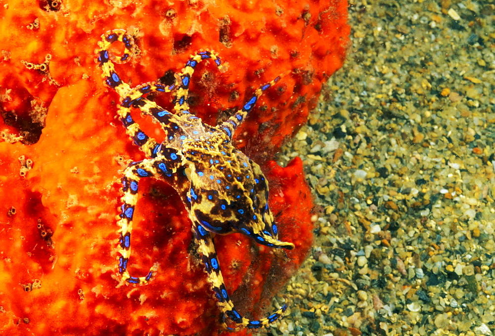 Australia, Venomous Blue Ringed octopus (Hapalochlaena maculosa) attached to sea sponge.