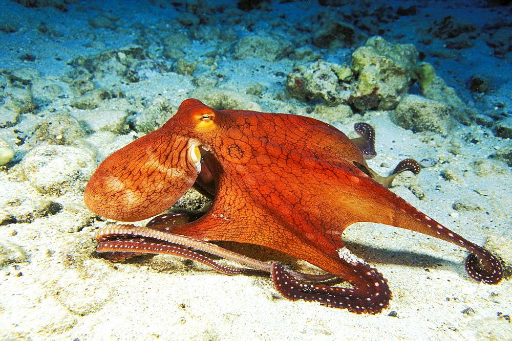 Hawaii, Day Octopus (Octopus cyanea) on ocean floor.