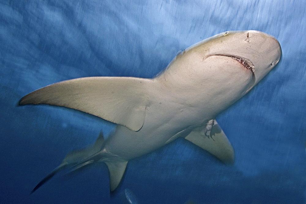 Caribbean, Bahamas, Caribbean Reef Shark (Carcharhinus perezi).