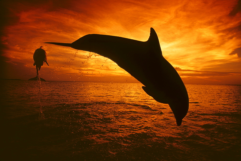 Honduras, Roatan, A pair of Atlantic Bottlenose Dolphin (Tursiops truncatus) leap into a Caribbean sunset.