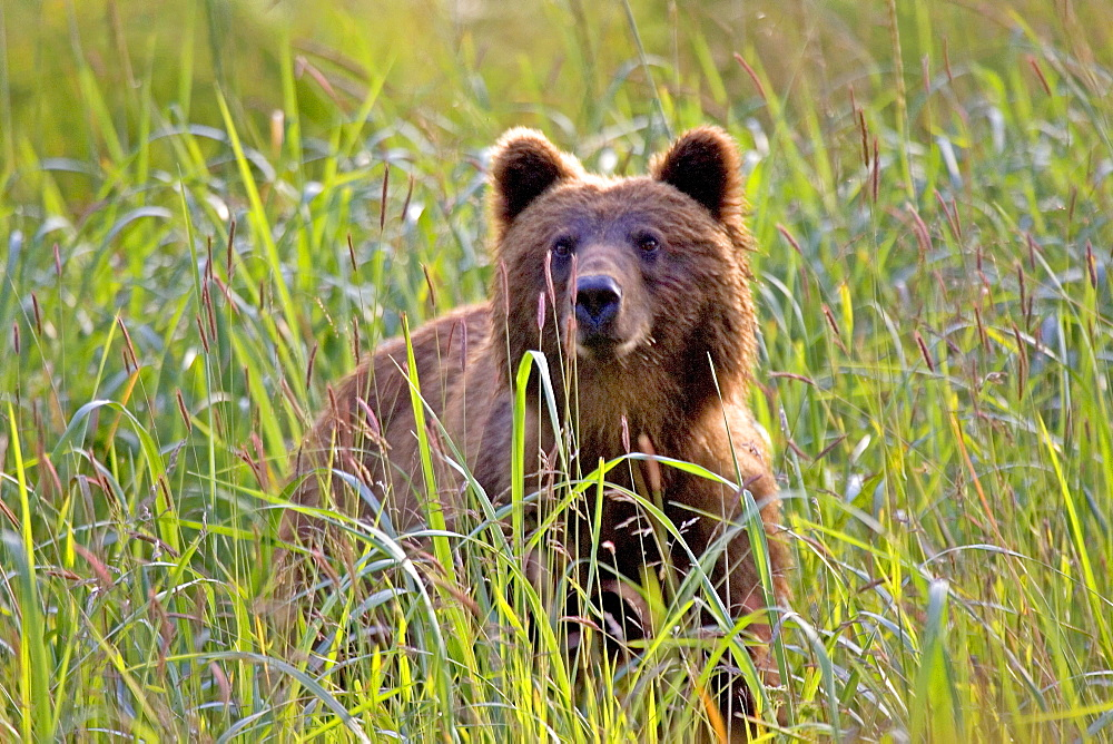 Alaska, Sitka, Brown bear (ursus acrtos horribillis) in a grassy meadow.