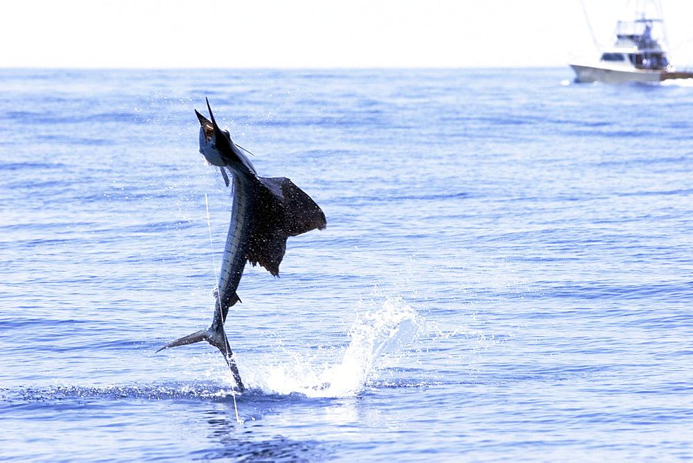 Guatemala, Marina Pez Vela, Sailfish jumping.