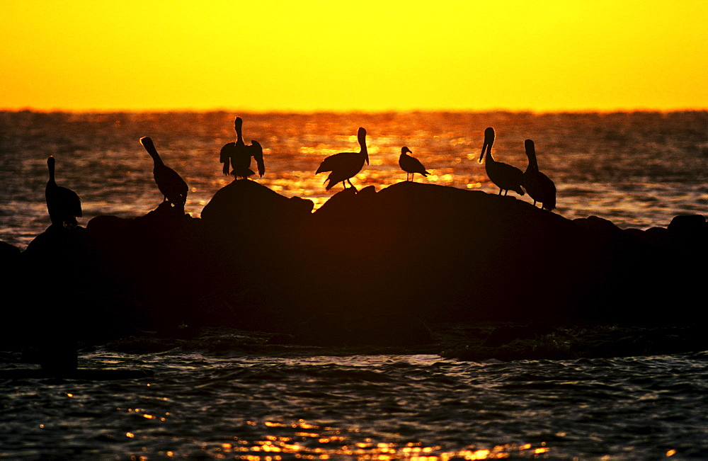 Mexico, Cabo San Lucas, Pelicans silhouetted against orange sunset on ocean rocks.