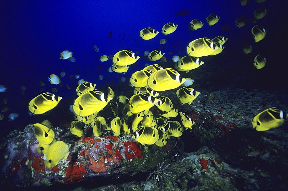 Hawaii, school of Raccoon Butterflyfish feeding along reef.