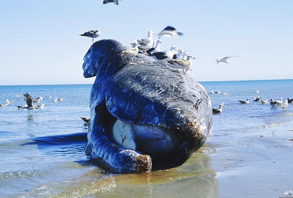 Mexico, San Ignacio Lagoon, dead Gray Whale (Eschrichtius robustus) on beach surrounded by seagulls.