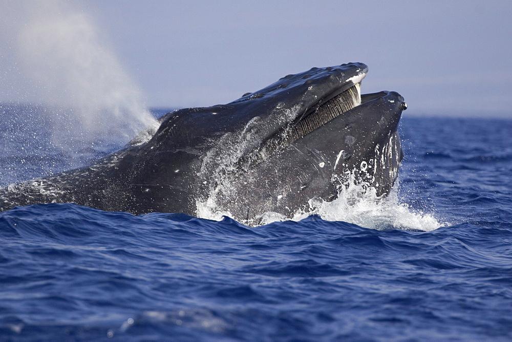 Hawaii, Humpback Whale (Megaptera novaeangliae) showing baleen.