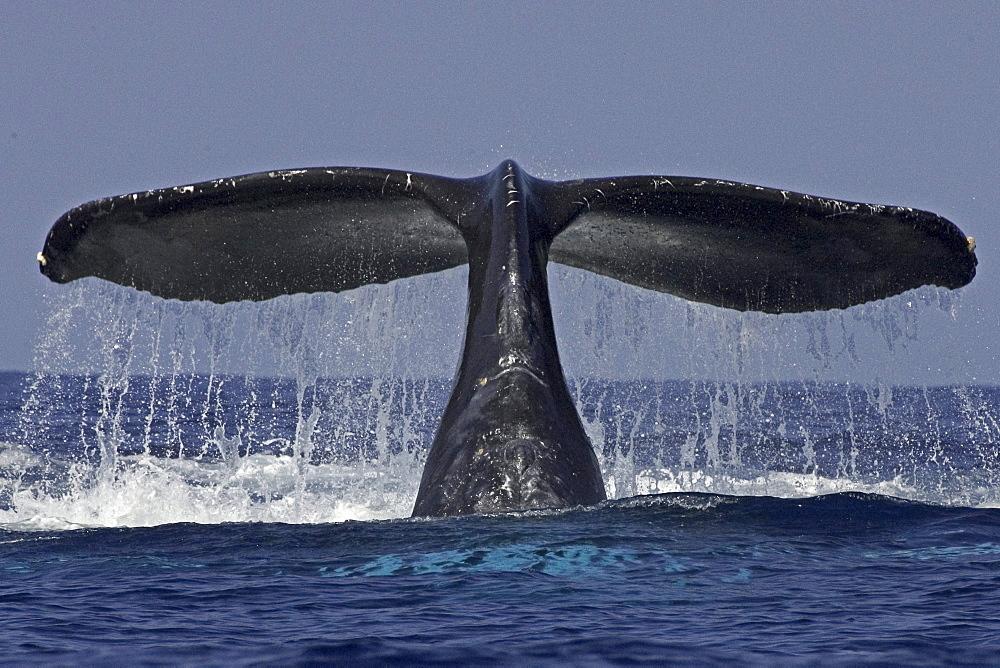 Hawaii, Big Island, Kona, Humpback Whale (Megaptera novaeangliae) fluking.