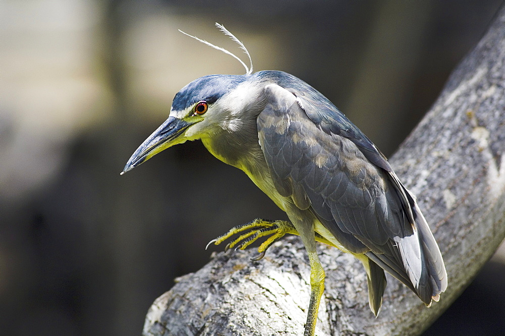 Hawaii, Big Island, Black Crowned Night Heron perched on a branch.