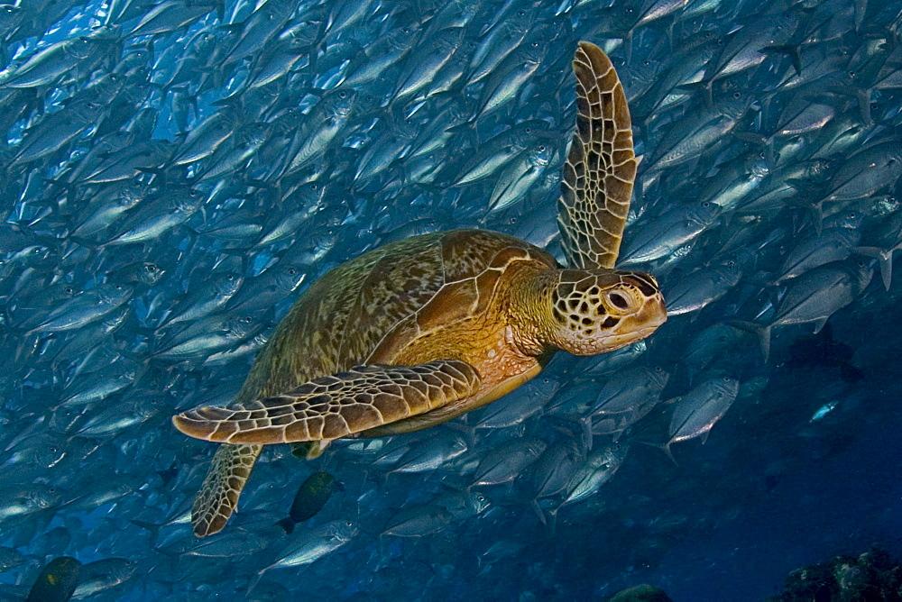 Malaysia, Mabul Island, Green Sea Turtle (Chelonia mydas) swimming with schooling jacks