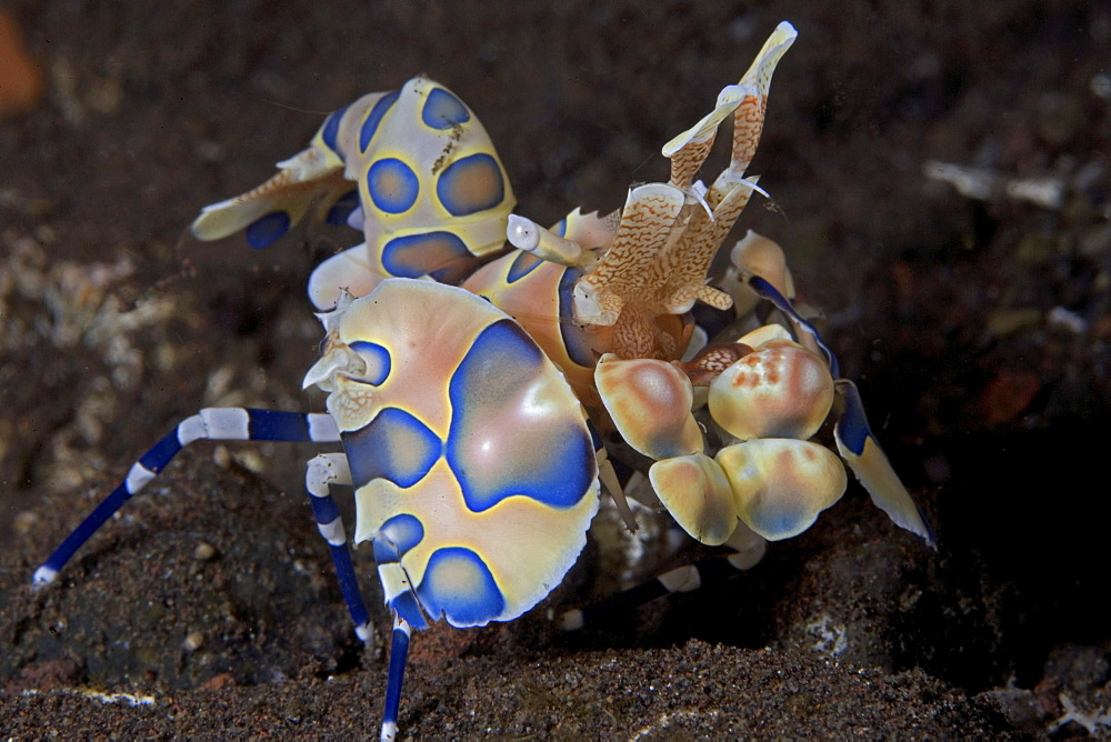 Indonesia, Bali, Tulumben, Harlequin shrimp (Stenopus pyronotu), blue variety.