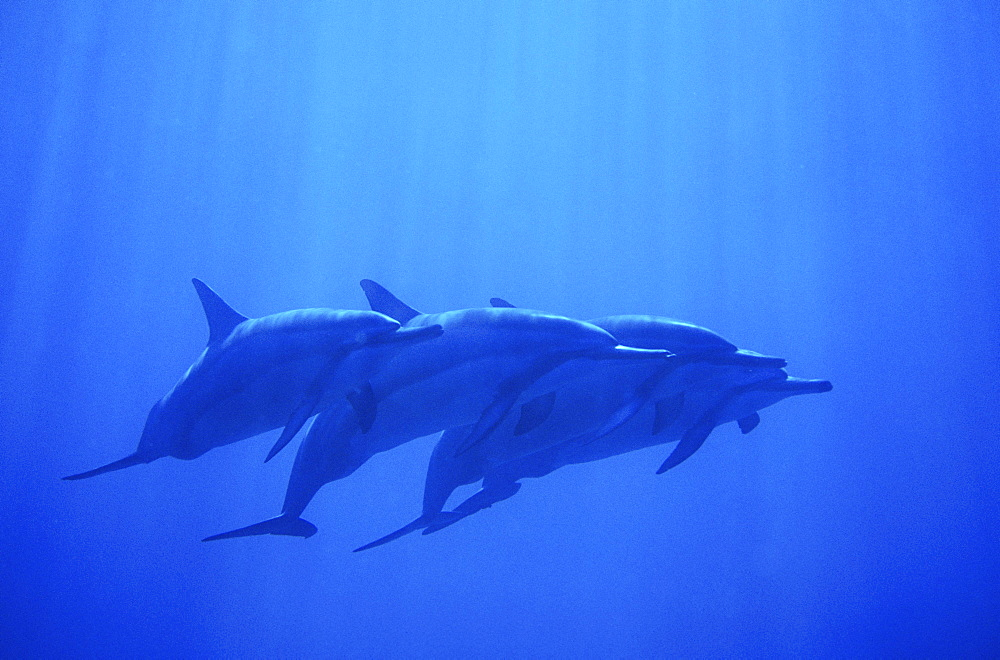 Hawaii, Dolphin pod swimming together underwater.