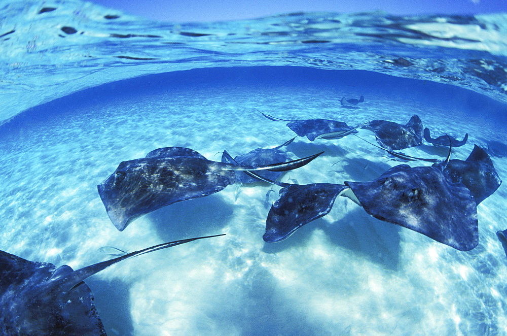 Caribbean, Grand Cayman Island, Over/under view of stingrays swimming in clear blue water, blue sky above.