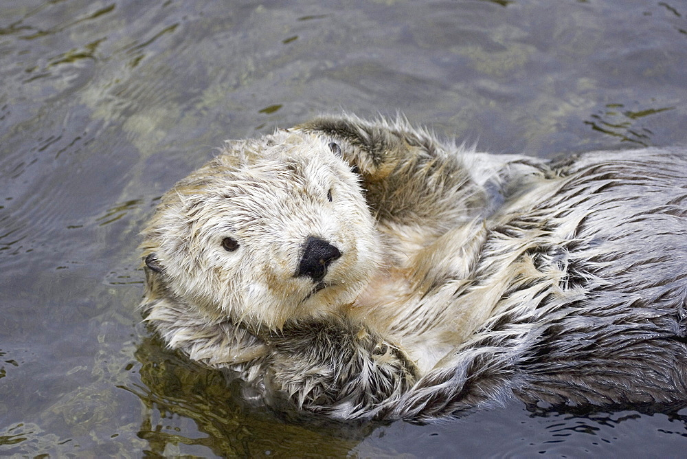 California, Monterey Bay, Sea Otter (Ehydra Lutris) floating on his back in water
