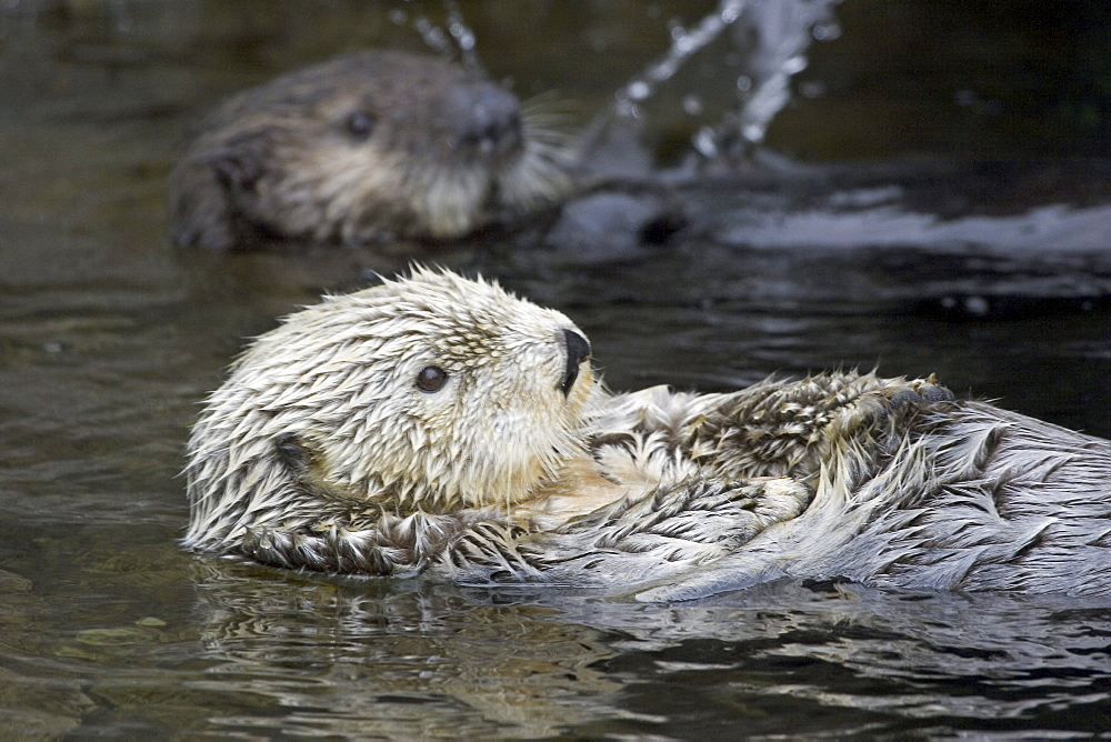 California, Monterey Bay, Sea Otters (Ehydra Lutris) Swimming on their backs, adult and juvenile