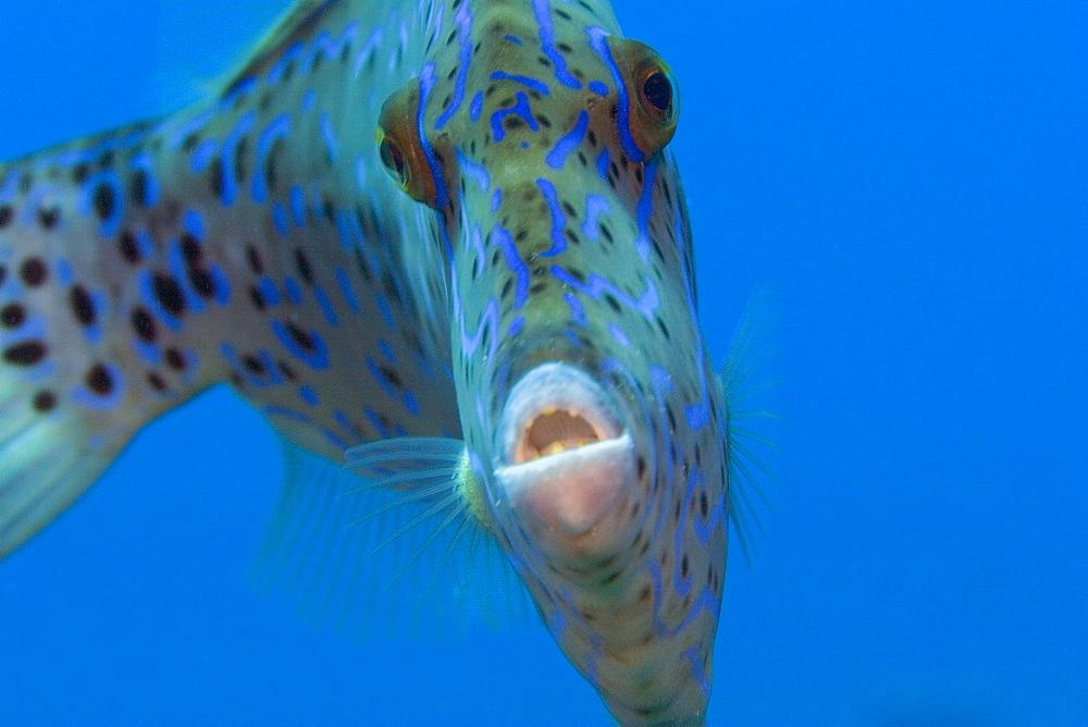 Hawaii, Scrolled filefish (Aluterus scriptus) closeup in blue sea.