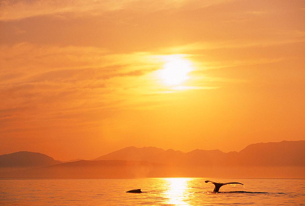 Alaska, Inside Passage, Tongass National Forest, Fluke of a humpback whale at sunset.