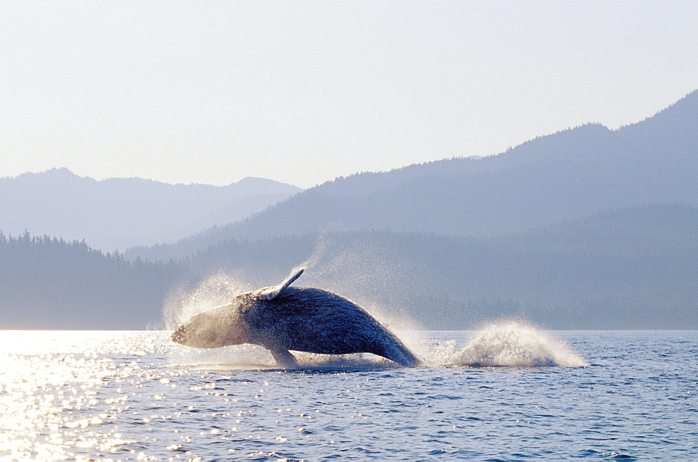 Alaska, Inside Passage, Tongass National Forest, humpback whale breaching.