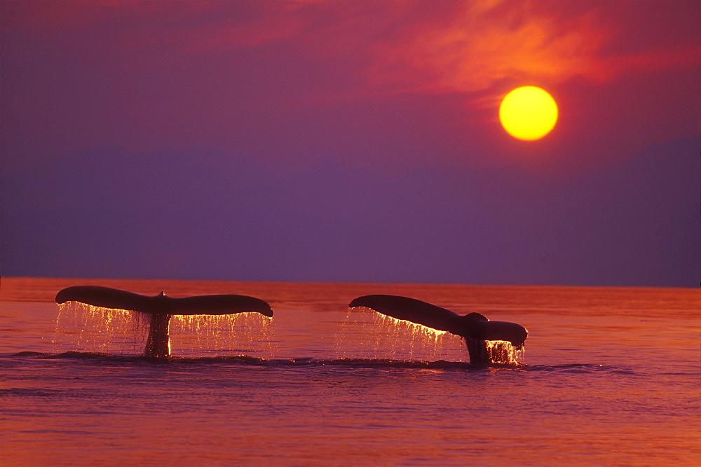 Alaska, Panhandle, Inside Passage. 2 Humpback whales fluke by a fiery sunset. - 1116-34356