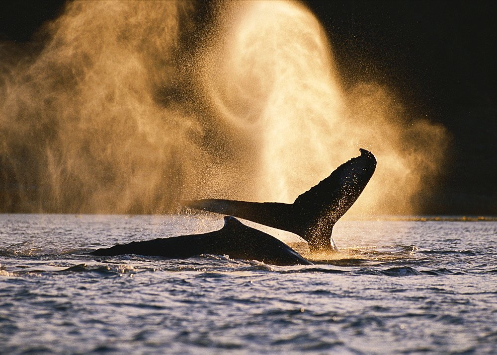 Alaska, Inside Passage, Tongass National Forest, two humpback whales surfacing.