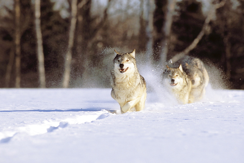 Alaska, Gray wolves charging through deep winter snow.