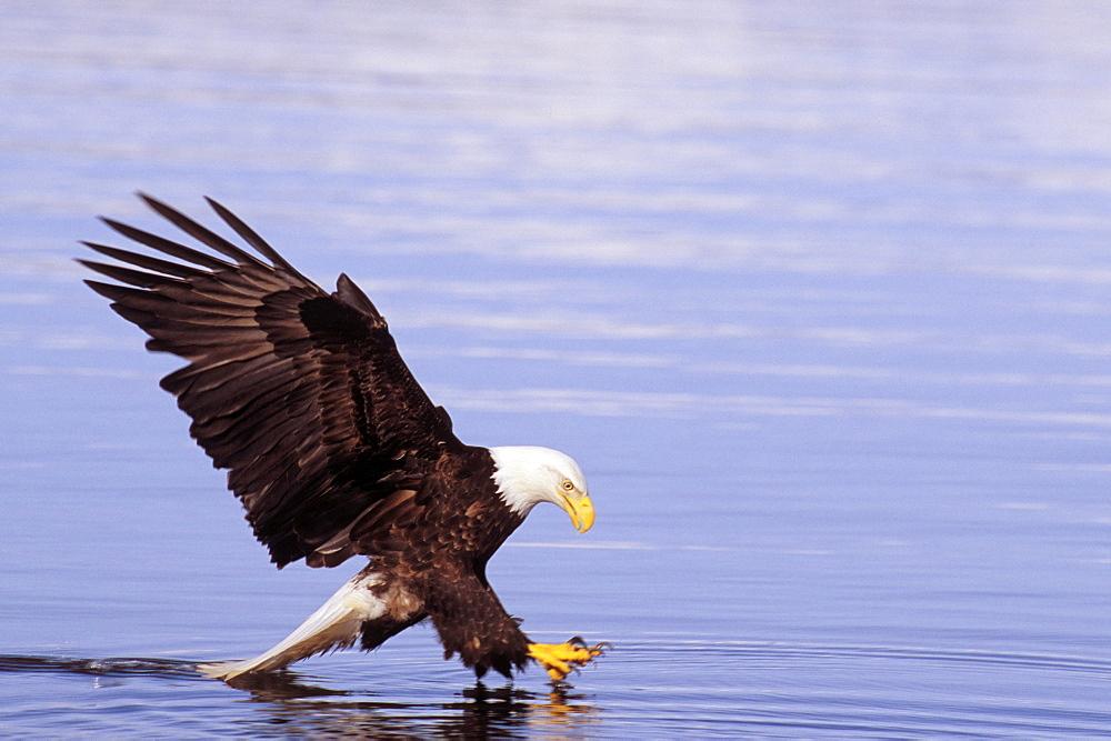 Alaska, Tongass National Forest, Inside Passage, Bald Eagle fishing along shore.