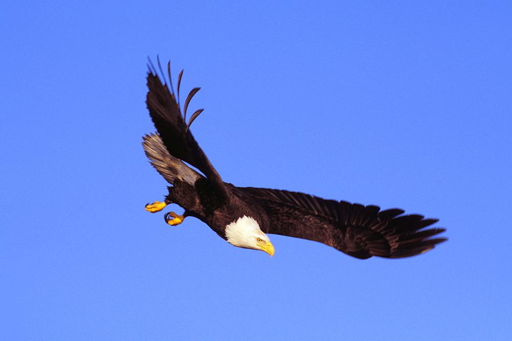 Alaska, Tongass National Forest, Inside Passage, Bald Eagle flying in blue sky.