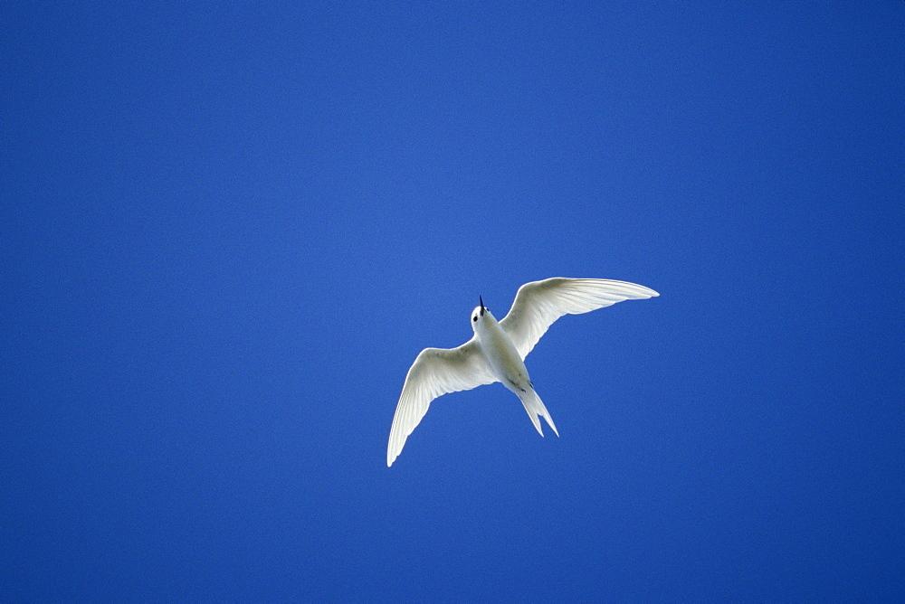 Micronesia, Marshall Islands, Common Fairy-tern or White Tern (Gygis alba) in flight.