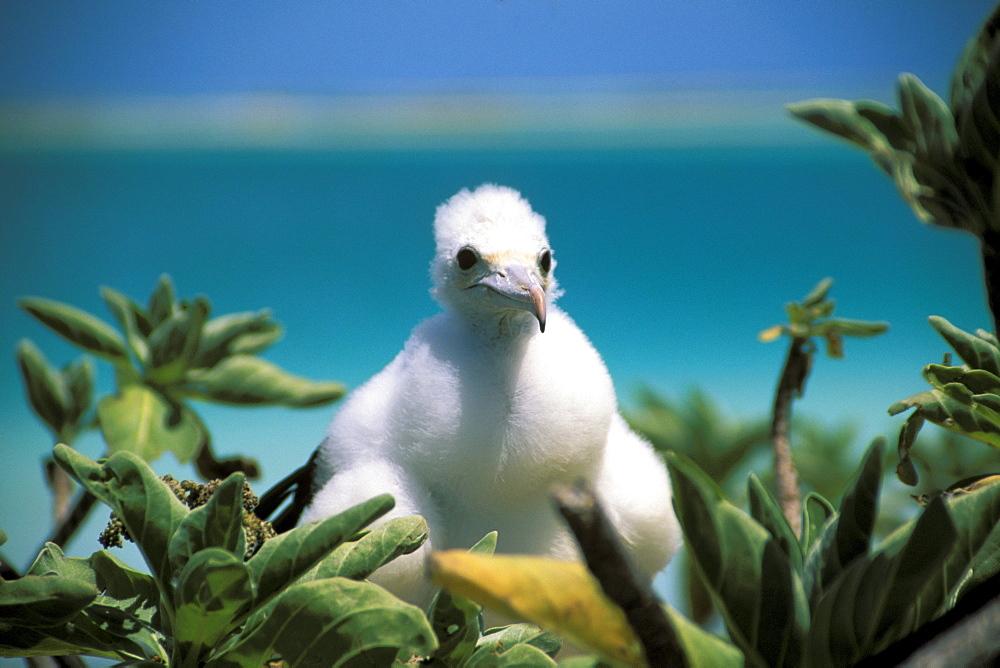 Kiribati, Kiritimati (Christmas Island), Close-up of juvenile frigate in a tree.