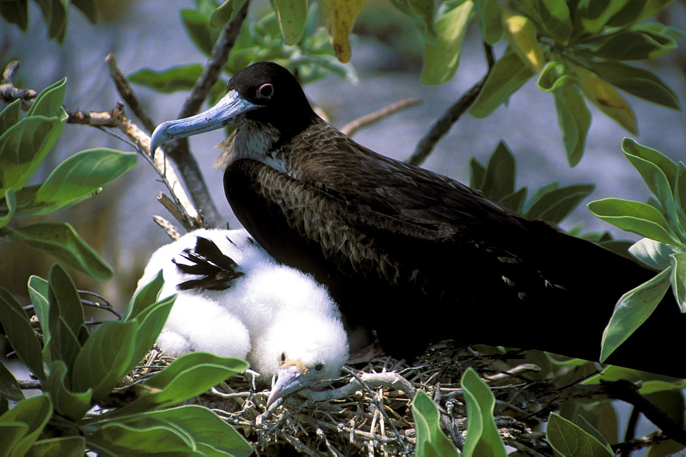 Kiribati, Kiritimati (Christmas Island), Close-up of juvenile frigate with mother in nest.