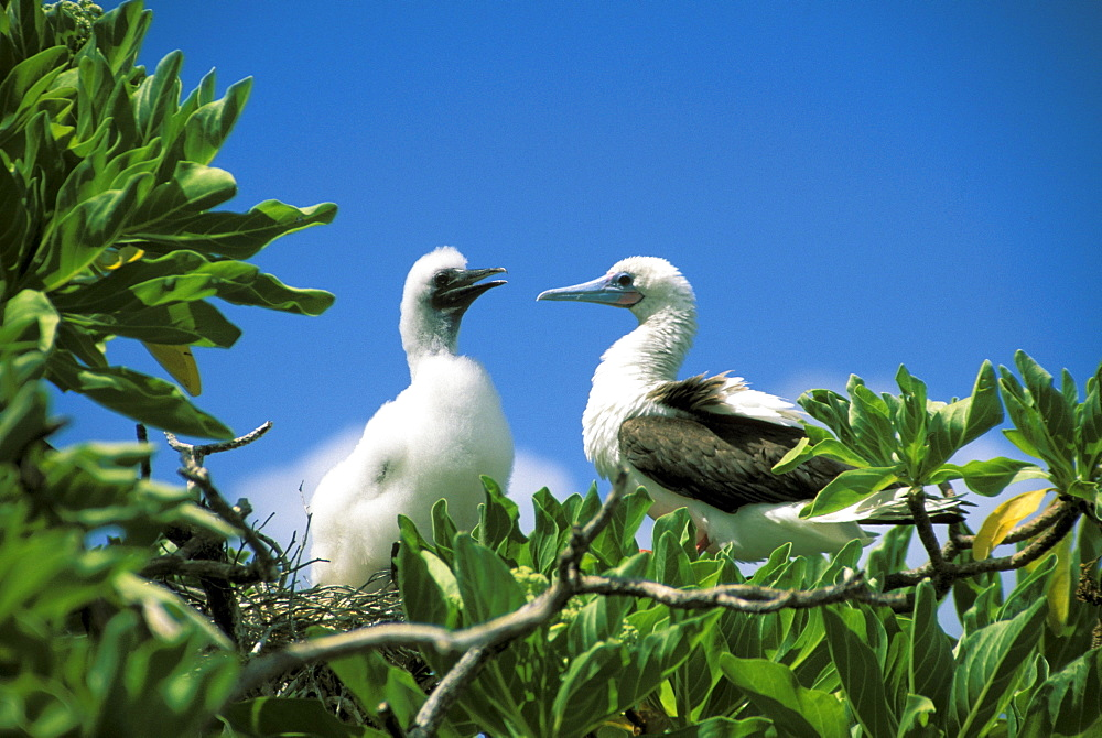 Kiribati, Kiritimati (Christmas Island), Red footed Boobie and chick in tree.