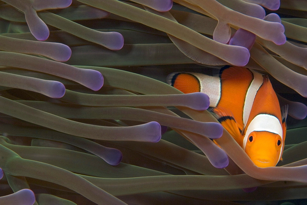 Indonesia, Clown anemonefish (amphiprion percula) in anenome (heteractis magnifica).