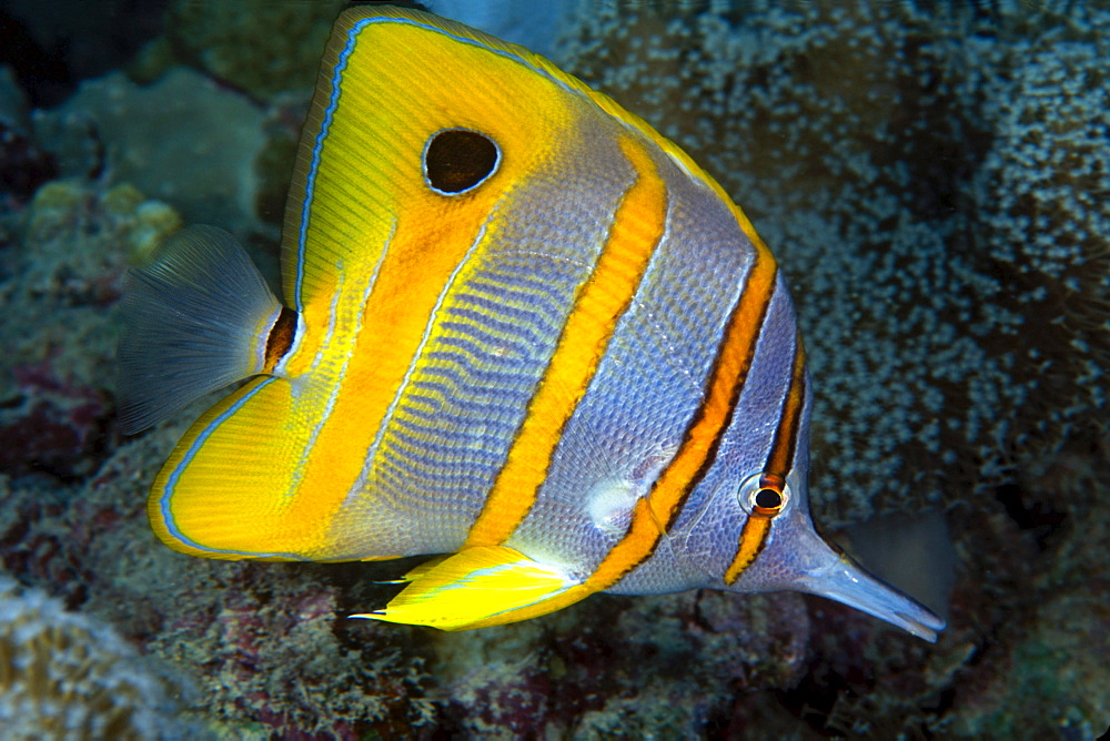 The beaked Butterflyfish, Chelmon rostratus, also known as copper-banded Butterflyfish,