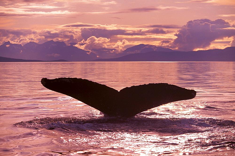 Alaska, Frederick Sound, Humpback Whale (Megaptera novaeangliae) fluke at sunset, pink sky - 1116-35215