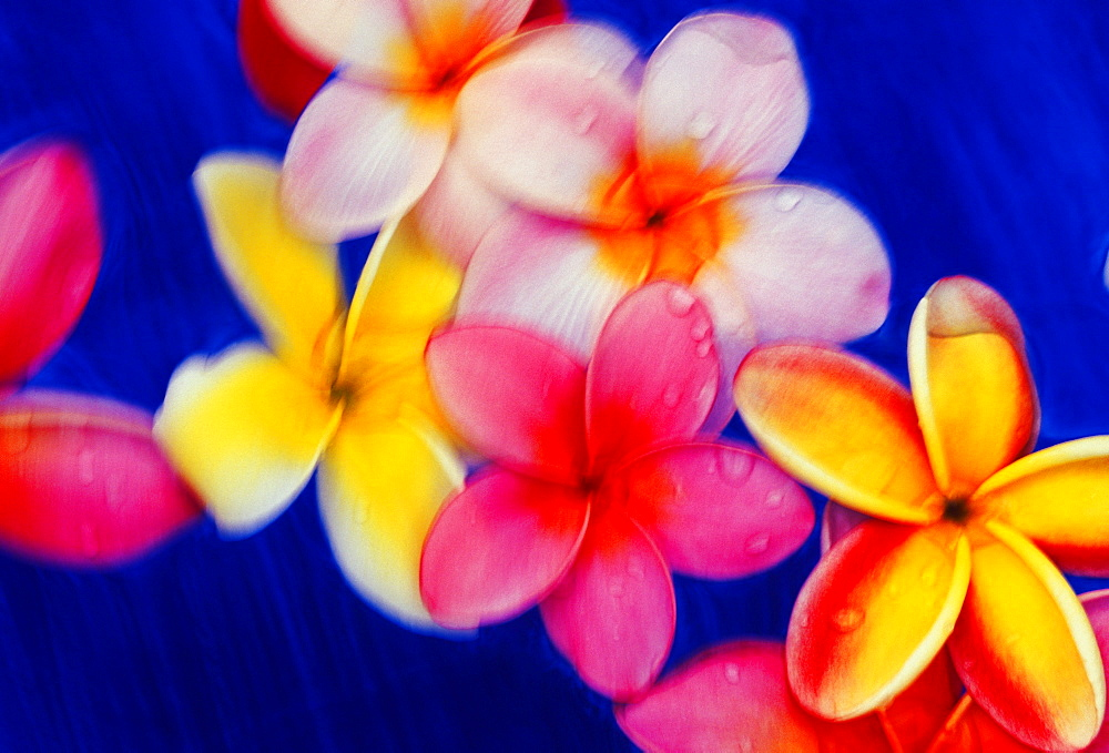 Studio shot of yellow and pink plumeria flowers in motion, blue background