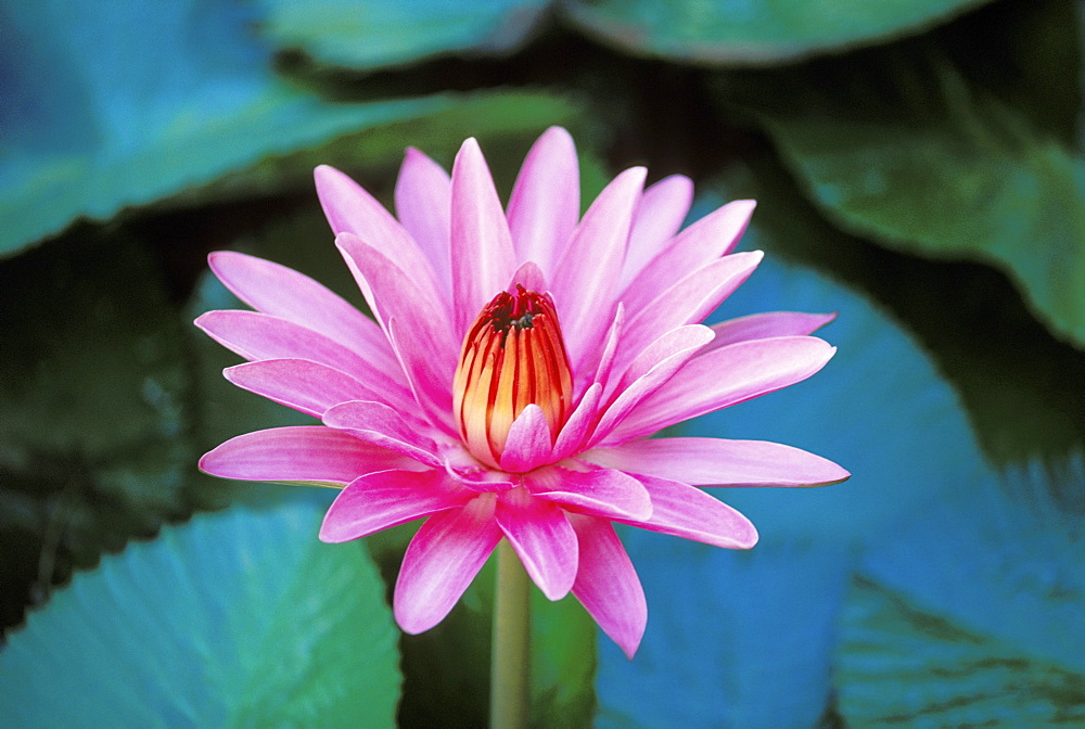 Hawaii, Maui, Close-up of pink/purple water lily blossom with closed center green lily pads, pond